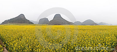 Rape Field Panorama