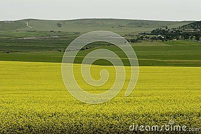 Rape field by the Black Sea