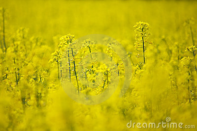 Rape field, selective focus