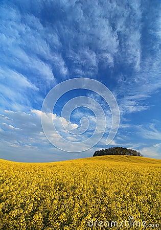 Rape field under sky