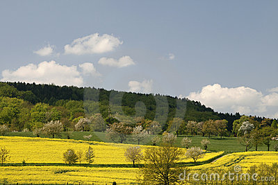 Rape fields and cherry trees