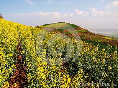Rape flower mountain