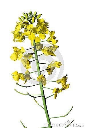 Free Rape Seed Royalty Free Stock Image - 40871266