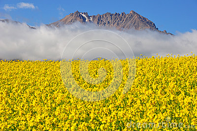 Rape seed field with mountains