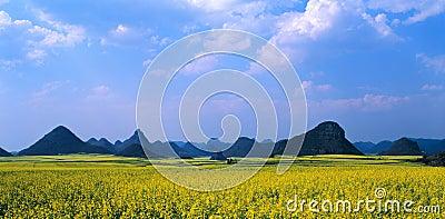 Rape seed field panorama