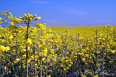 Rape yellow field Stock Photo