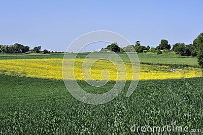 Rape yellow field