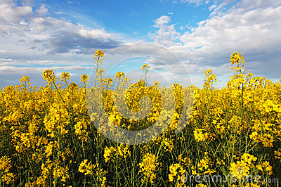 Rape yellow field with sky Stock Photo