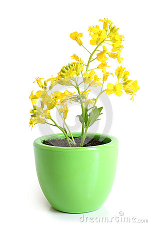 Free Rapeseed (Brassica Napus) In Pot Stock Images - 54144894