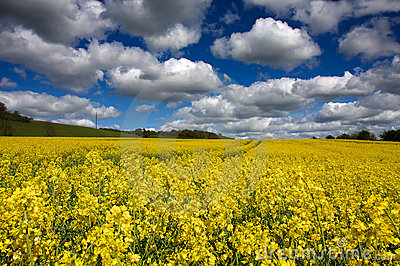 Rapeseed and Clouds