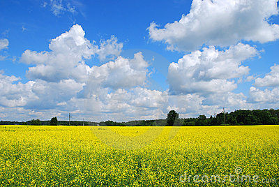 Canola field nature background