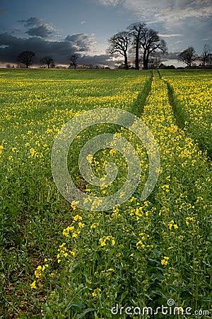 Rapeseed field contryside landscape