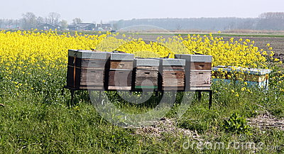 Rape seed field with hives Stock Photo