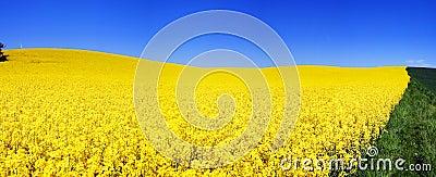Rapeseed field panorama