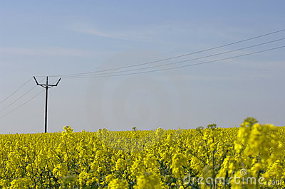Rapeseed field + power lines