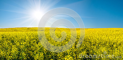 Rapeseed field and sun in blue sky