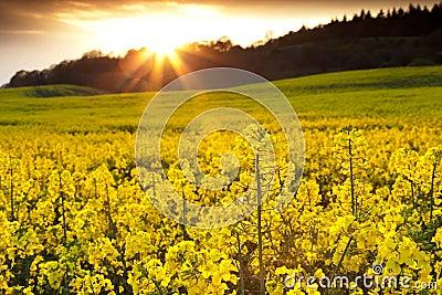 Rapeseed Field with Sunburst
