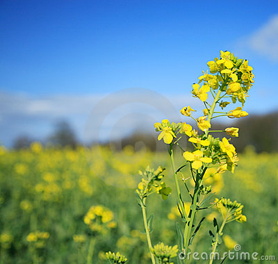 Free Rapeseed Flower Stock Images - 1727964