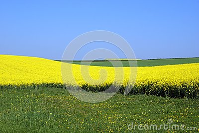 Rapeseed and meadow