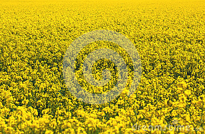 Rapeseed plants in the field