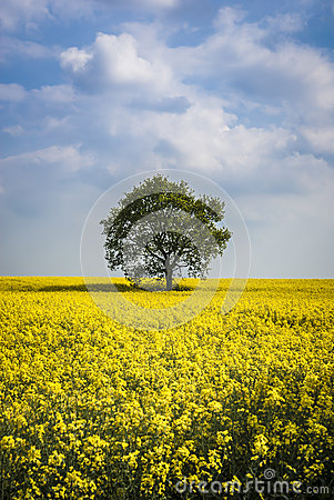 Rapeseed And Tree