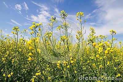 Rapeseed yellow  flowers