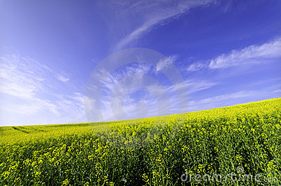 Rapessed field