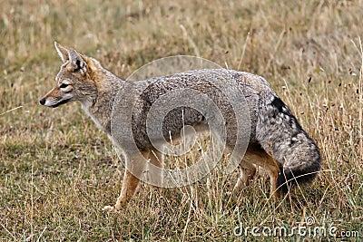 Raposa-do-ártico VS Raposa-cinzenta-argentina Raposa-cinzenta-2488735