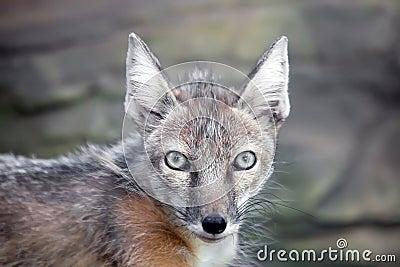 Raposa do corsac olhar fixamente