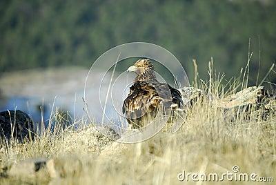 Raptor Aguila Real