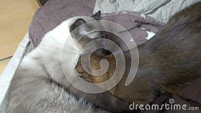 Raquetão mekong, gatinho somali Gatinho suga leite em gato adulto, picado em 4K UHD vídeos de arquivo