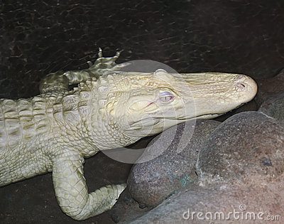 A Rare Albino American Alligator Lurks at Night