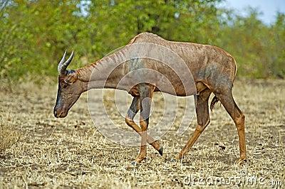 Rare Antelope