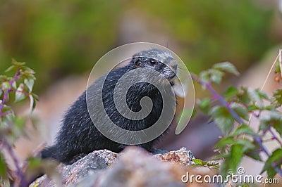 Rare Black Marmot