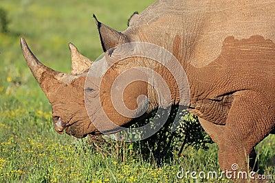 Rare Black Rhino