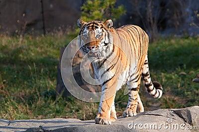 A rare endangered Siberian Tiger resting.