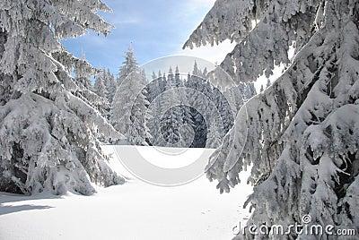 Rare fir forest