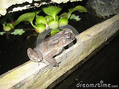 Rare frog at night