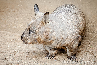 Rare Glimpse of a Southern Hairy-nosed Wombat (Lasiorhinus latif