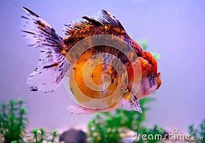Rare Goldfish