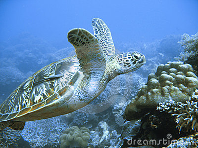 Rare green sea turtle