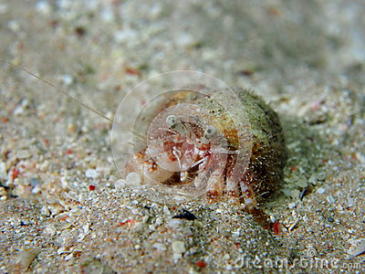 Rare hermit crab with anemone inside shell
