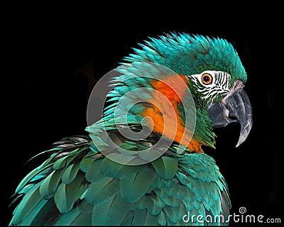 Rare Macaw