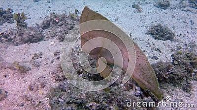 Rare Marine Life Waaier- en wonderbaarlijk fluitje of trange kleine afgedankte zee stock footage