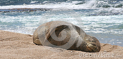 Rare Monk Seal rests in the sun