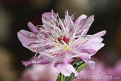 Rare pale pink peony