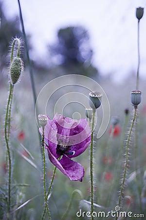 A Rare Poppy