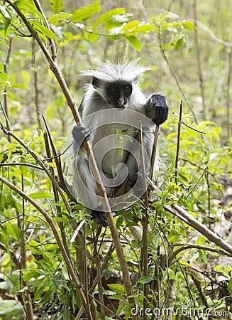 Rare Red Colobus Monkey