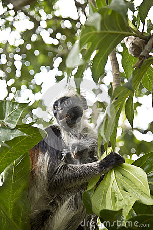 Rare Red Colobus Monkey with little