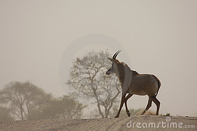 Rare Roan Antelope